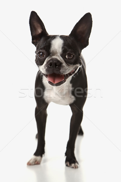 Stock fotó: Boston · terrier · kutya · mosoly · haj · szín