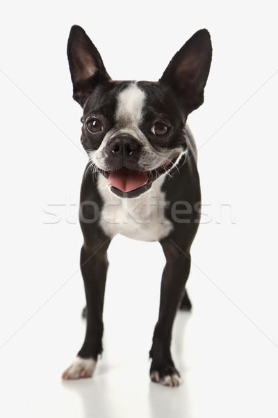 Stockfoto: Boston · terriër · hond · glimlach · haren · kleur