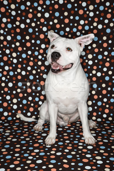 White dog against polka dots. Stock photo © iofoto