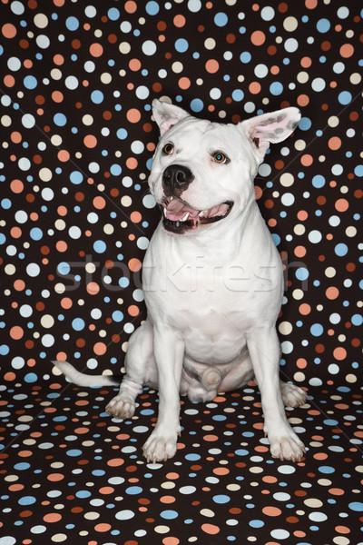 Stockfoto: Witte · hond · stier · glimlach