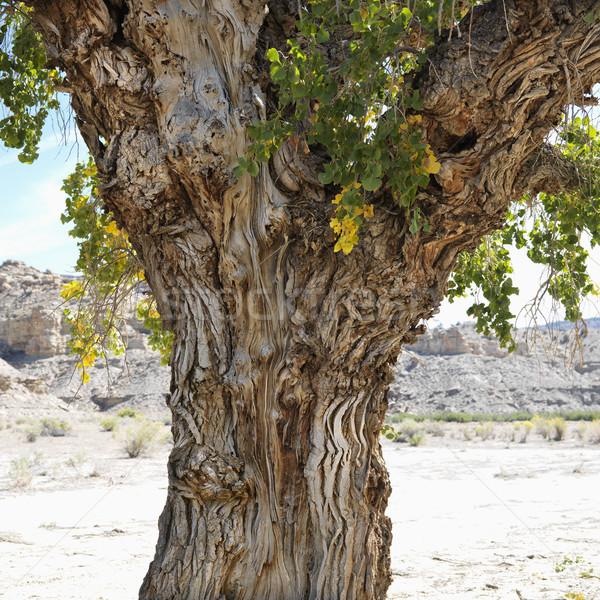 Cottonwood tree in Utah. Stock photo © iofoto
