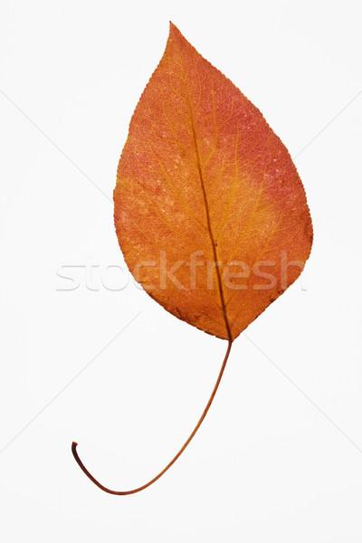 Bradford pear leaf. Stock photo © iofoto