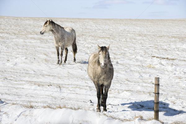 Kettő lovak hó testtartás mögött kerítés Stock fotó © iofoto