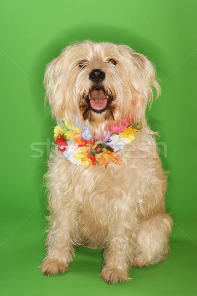Dog sitting wearing lei. Stock photo © iofoto