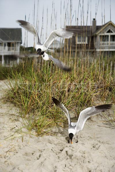 Gaivotas praia para baixo pássaro aves cor Foto stock © iofoto