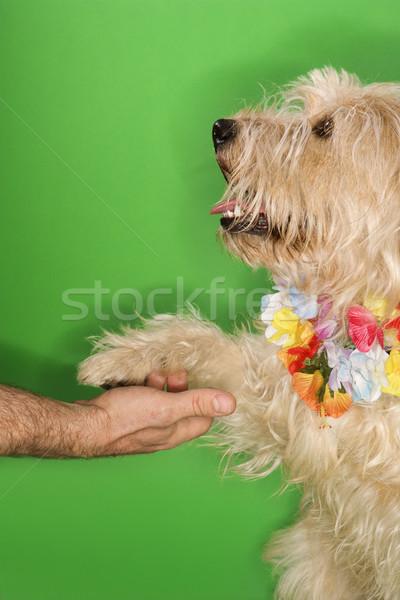 Cão pata fofo aperto de mãos caucasiano Foto stock © iofoto