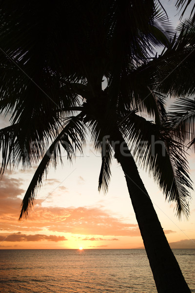 Ocean palm in Maui at sunset. Stock photo © iofoto
