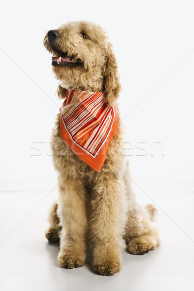 Goldendoodle dog wearing bandana. Stock photo © iofoto