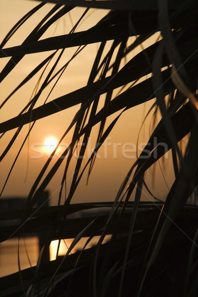 Palm tree at sunset. Stock photo © iofoto