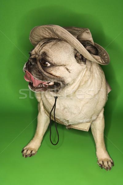 собака Safari зеленый цвета студию Сток-фото © iofoto