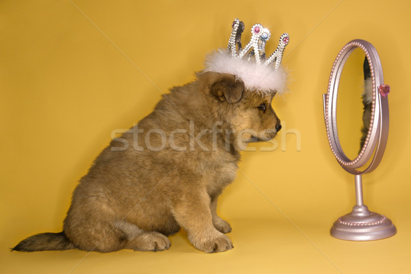 Puppy wearing crown. Stock photo © iofoto