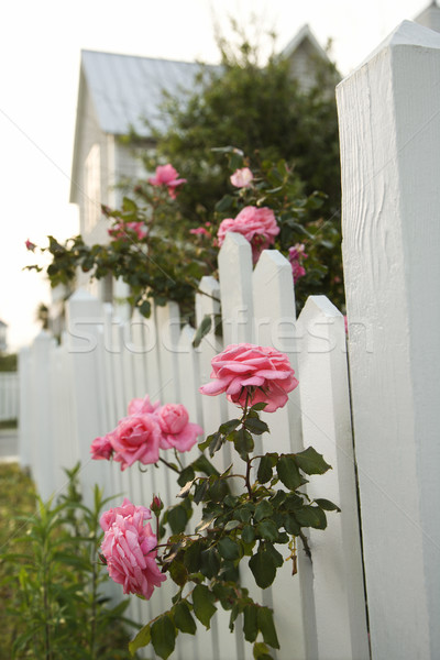 Pink roses growing by picket fence. Stock photo © iofoto