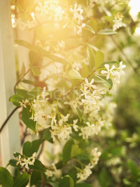 Sol flores llamarada floración vid blanco Foto stock © iofoto