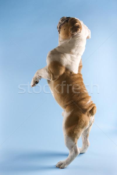 English Bulldog begging. Stock photo © iofoto