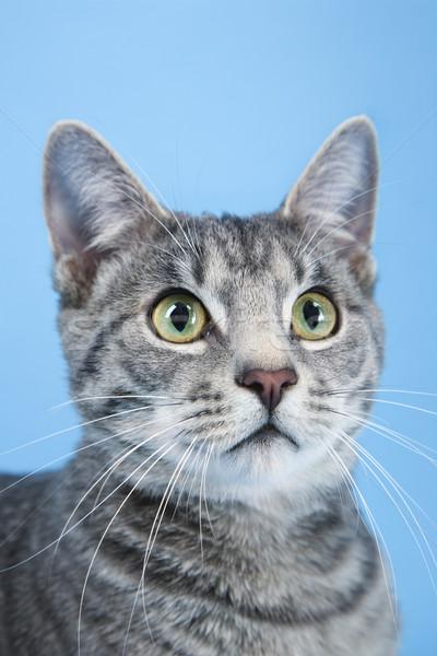 Portrait gris rayé chat couleur studio Photo stock © iofoto