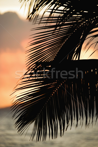Palm frond silhouette. Stock photo © iofoto