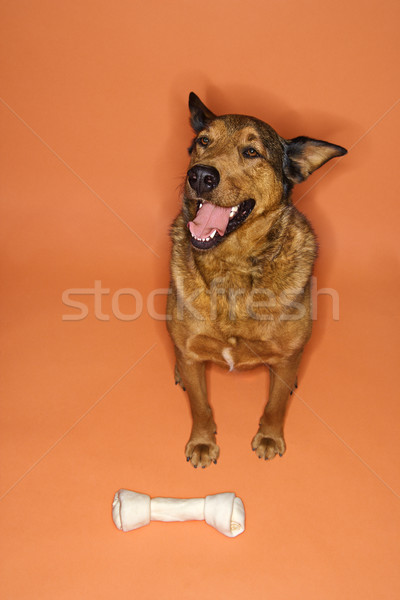 Mixed breed dog with bone. Stock photo © iofoto