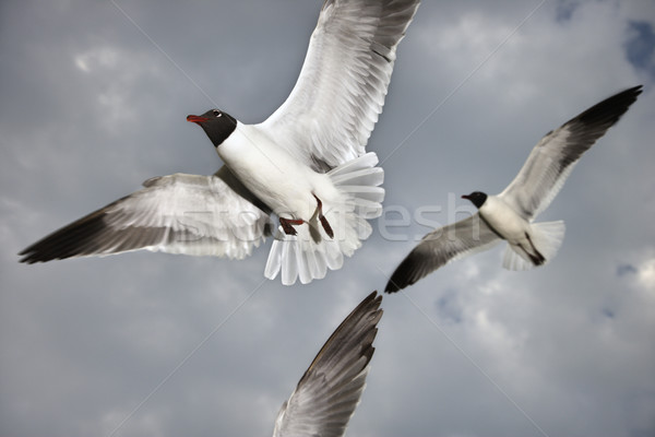 Seagulls in flight. Stock photo © iofoto