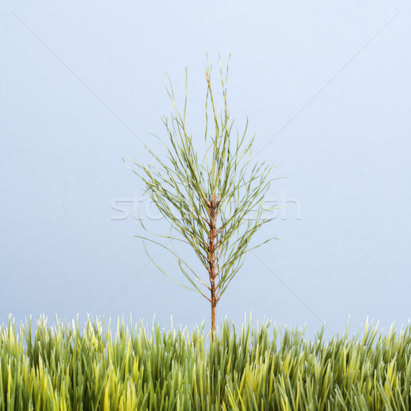 Sapling tree and grass. Stock photo © iofoto