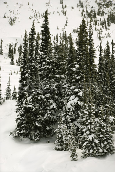 Stock photo: Snow covered pine trees.