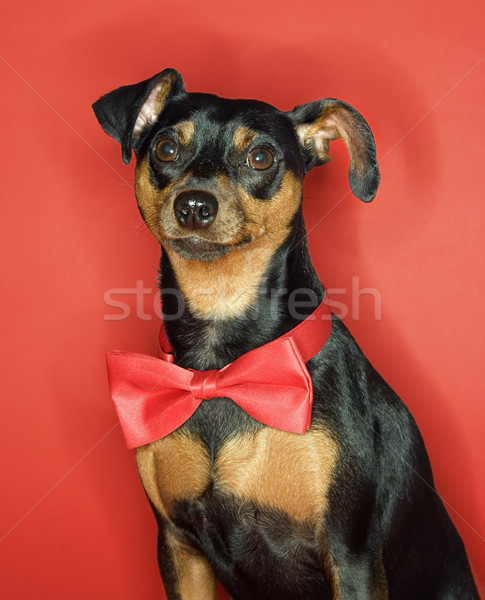 Miniature Pinscher dog with bowtie. Stock photo © iofoto