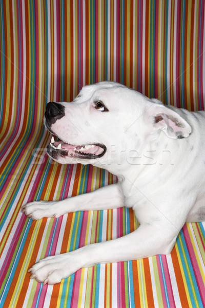 Stock photo: White dog against striped background.