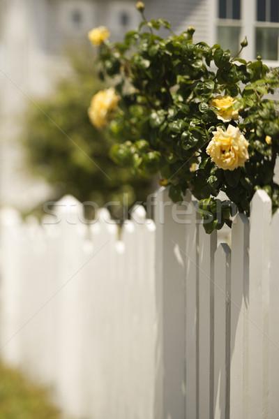 Picket fence with rose bush. Stock photo © iofoto