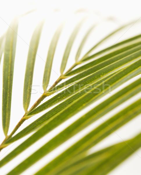 Palm frond on white. Stock photo © iofoto