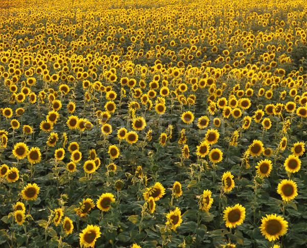 Sunflower field Stock photo © iofoto