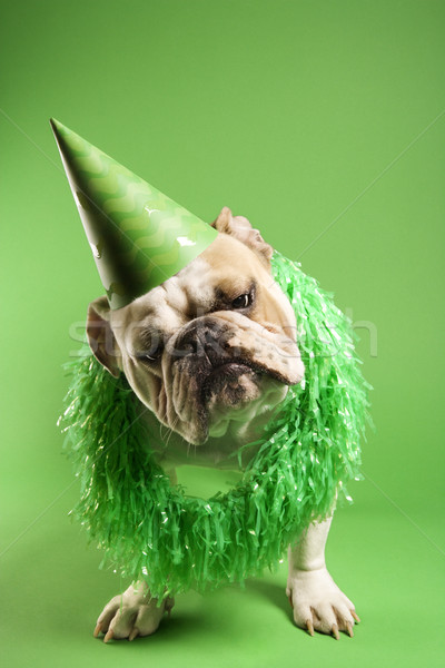 Bulldog in party hat. Stock photo © iofoto