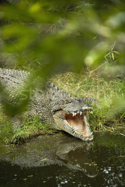 Crocodile opening mouth. Stock photo © iofoto