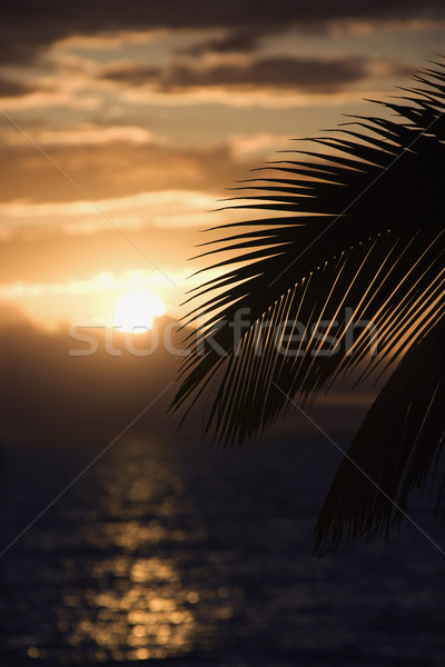 Palm at sunset in Maui. Stock photo © iofoto