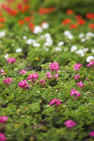 Geranium flowers. Stock photo © iofoto