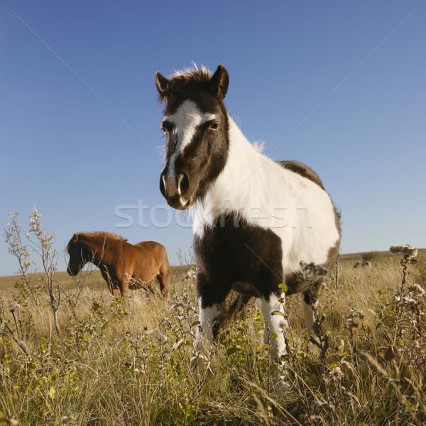 Stock photo: Two miniature horses.