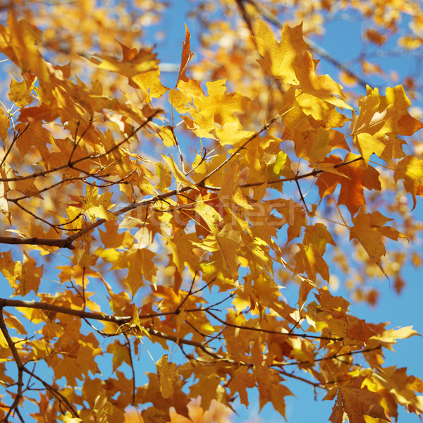 Maple tree in Fall color. Stock photo © iofoto