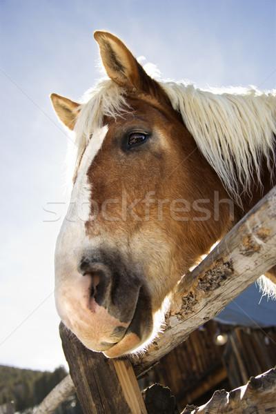 Stock photo: Draft horse.