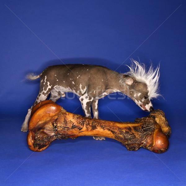 Chinese Crested dog smelling bone. Stock photo © iofoto