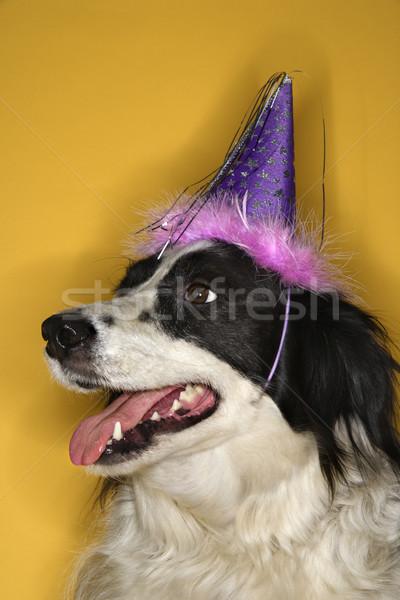 Dog wearing party hat. Stock photo © iofoto