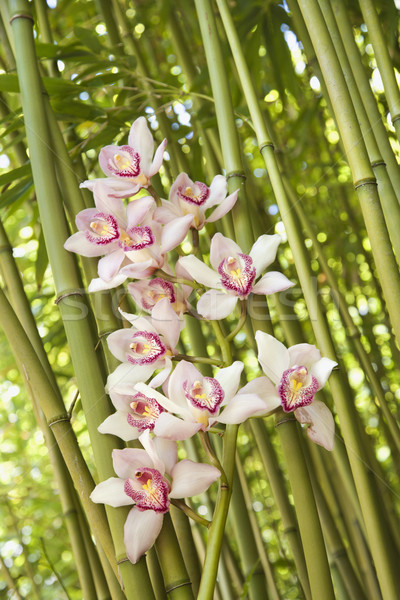 Orchids and Bamboo Stalks Stock photo © iofoto