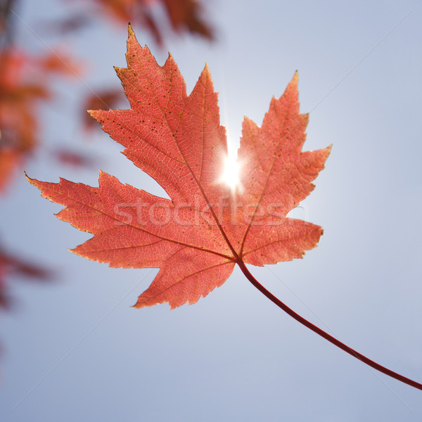 Red maple leaf. Stock photo © iofoto