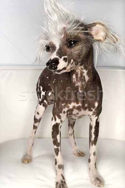 Chinese Crested dog portrait. Stock photo © iofoto