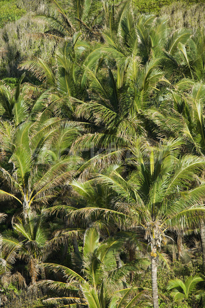 Palm trees on Maui. Stock photo © iofoto