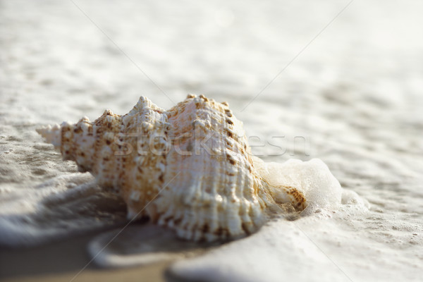 Conch shell in waves. Stock photo © iofoto