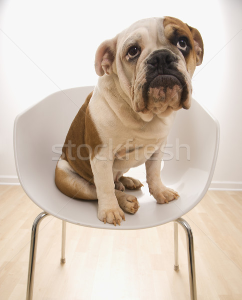 English Bulldog in chair. Stock photo © iofoto