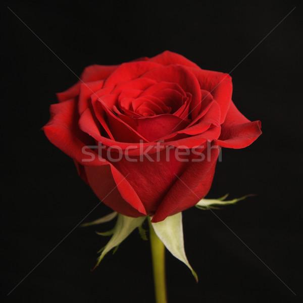 Red rose on black. Stock photo © iofoto