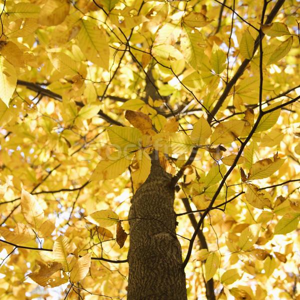 Tree with yellow Fall foliage. Stock photo © iofoto