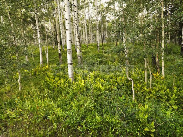 Aspen trees in forest. Stock photo © iofoto