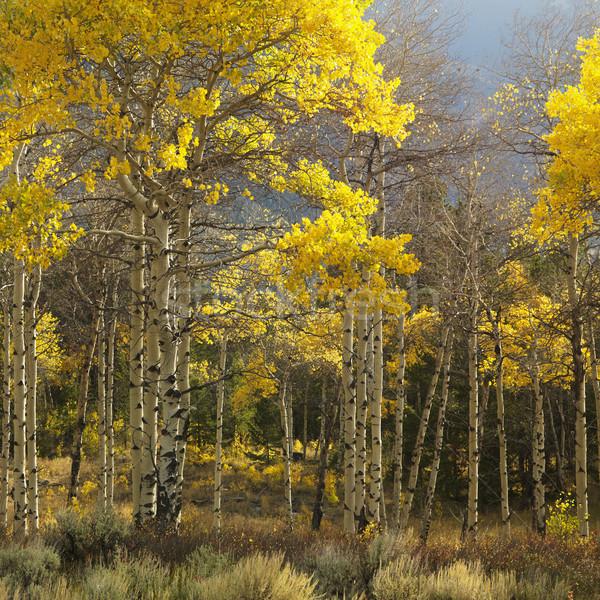 Aspen trees in Wyoming. Stock photo © iofoto