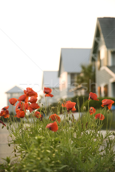 Red poppy flowers by houses. Stock photo © iofoto