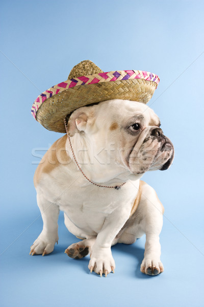 English bulldog indossare sombrero blu guardando Foto d'archivio © iofoto